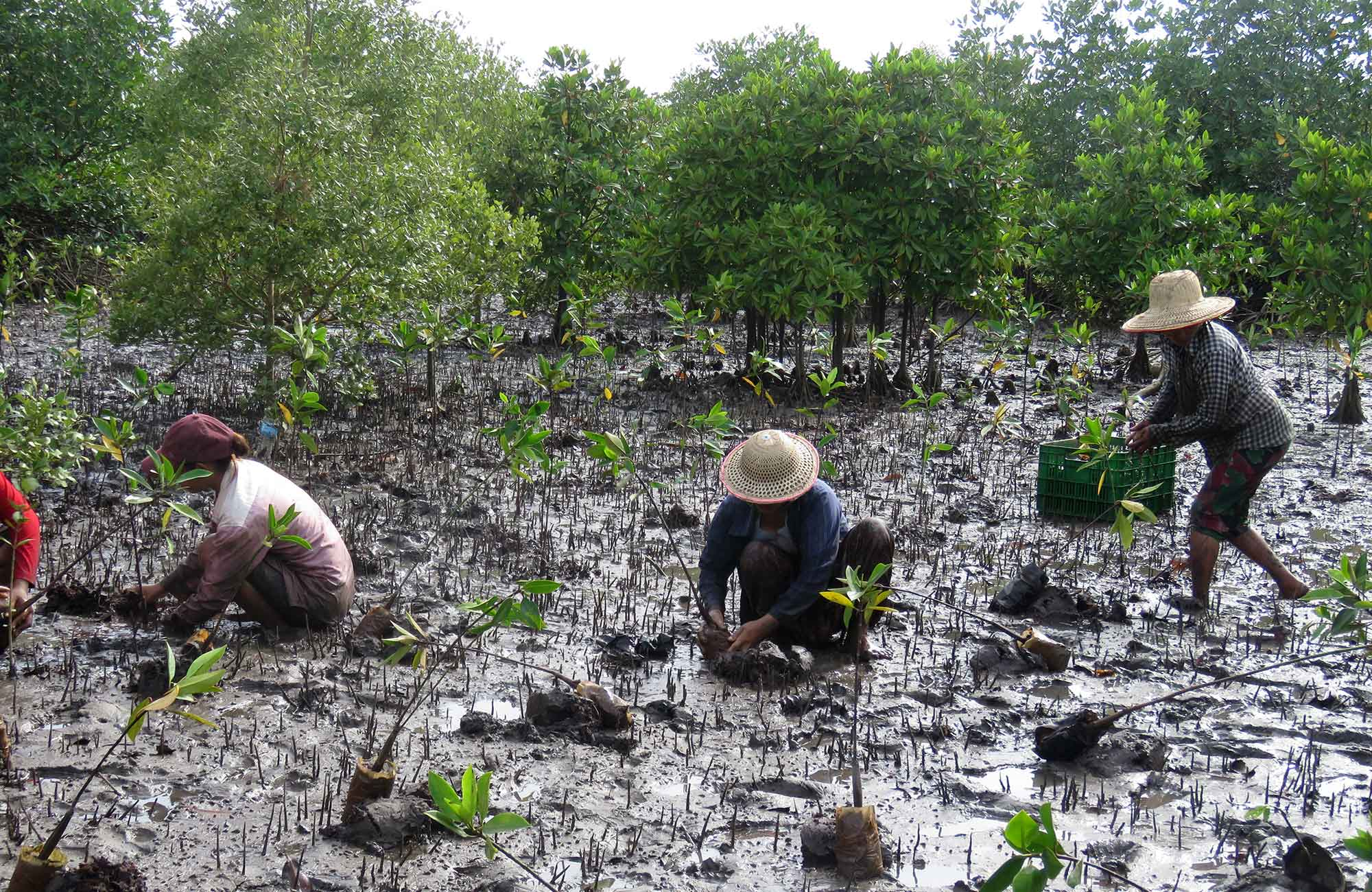 locals planting new mangroves in myanmar