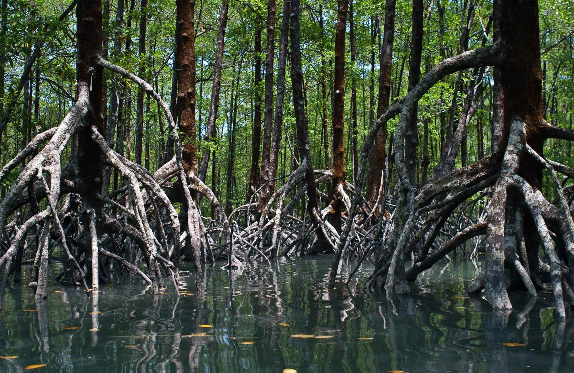 mangroves in myanmar